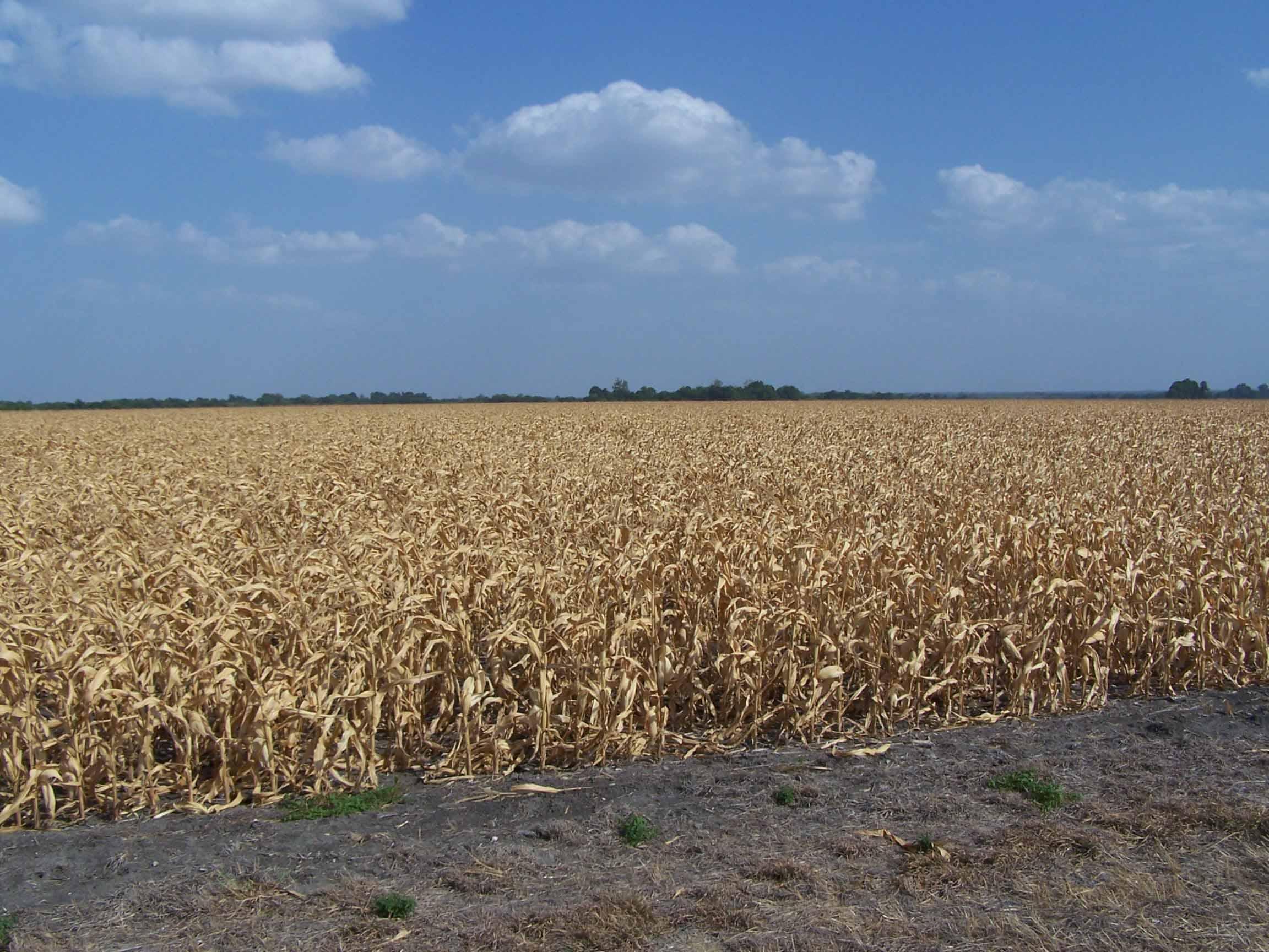 campi di mais colpiti dalla siccità