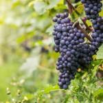 Vendemmia 2016, verso una buona annata: +2% la stima in Veneto