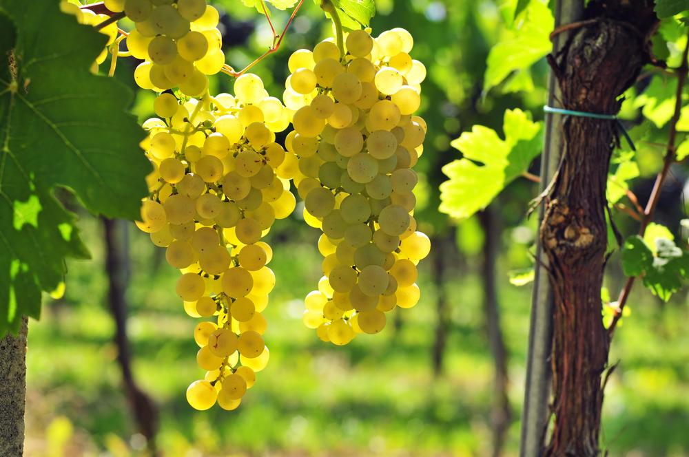 vino bianco viti doc