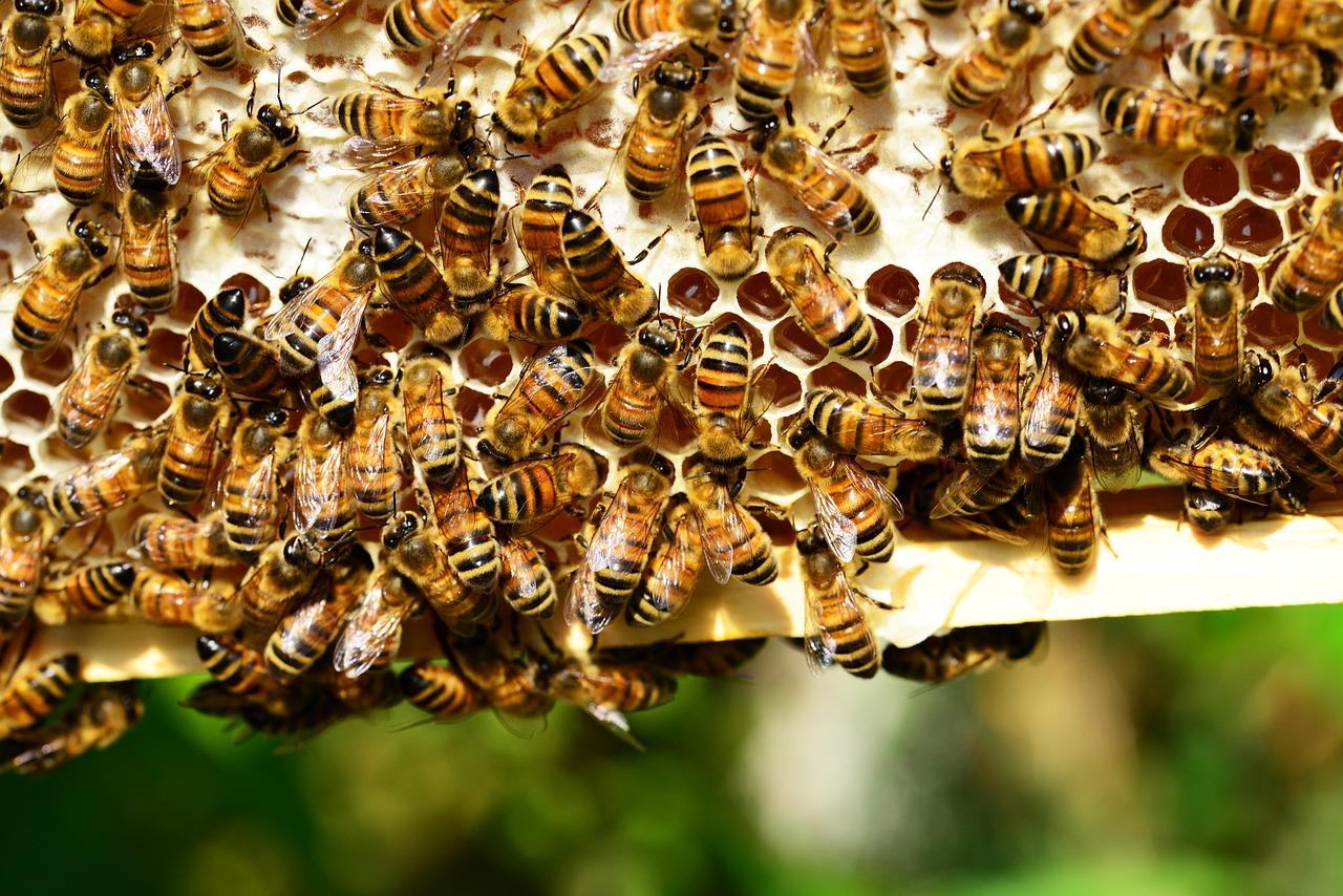 apicoltura ape api