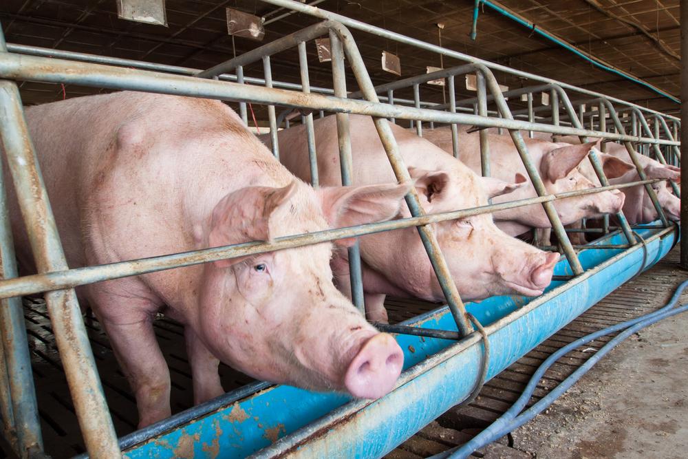 suini maiali allevamento allevatori