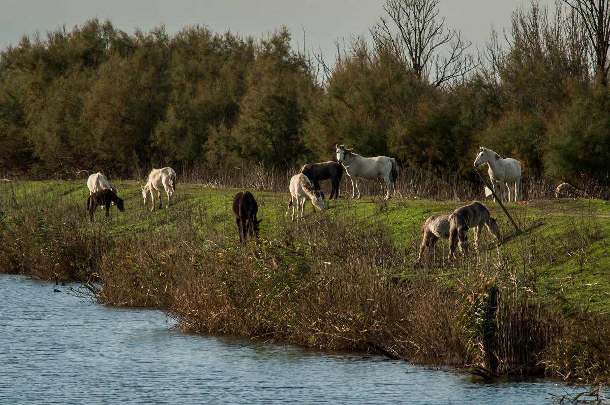 cavalli-delta-po